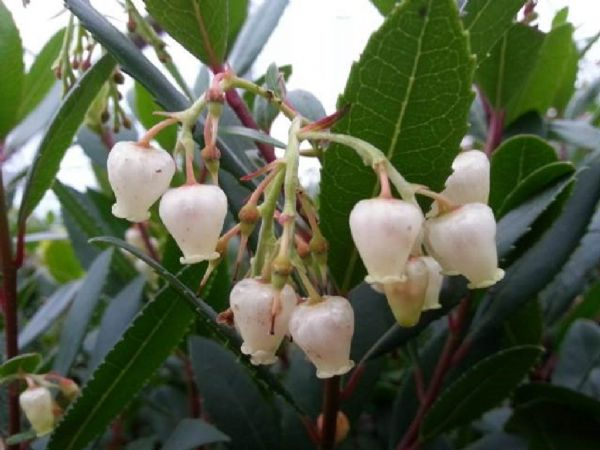 Arbutus unedo (Strawberry Tree) 3 Litre